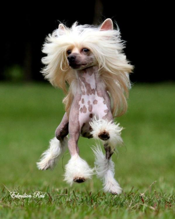 Dude she has better hair than I do! Lol! Chinese crested dog | Foto Chinese Crested Dog ***Just expereince it***