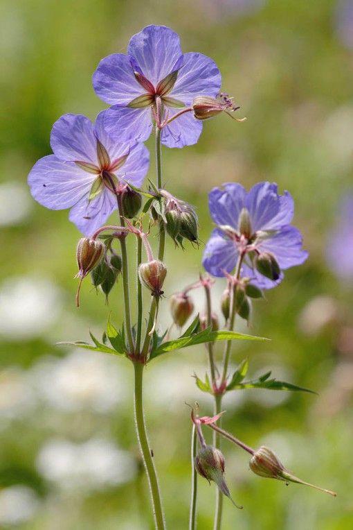 Geranium pratense – Meadow Cranesbill | Wild Flowers | Species | Emorsgate Seeds – (01553) 829 028