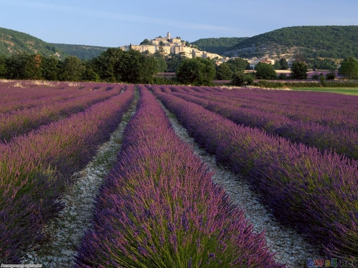 Lavender at Banon, Provence