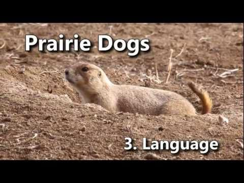 Learning the language of prairie dogs could teach us how to decode language of our canine and feline friends.
