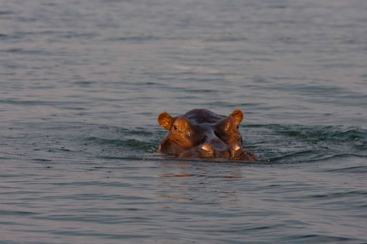 Sail down the Anabezi river and come close to the impressive hippopotamus! http://www.wunderbird.com/safari/rejser_til_den_store_vandring