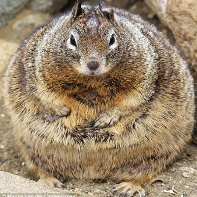 really.fat.squirrel.
