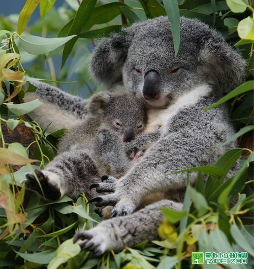A baby koala cuddling with its mother.