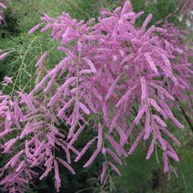 Tamaryszek pięciopręcikowy  'Pink Cascade' - Tamarix ramosissima (pentandra)