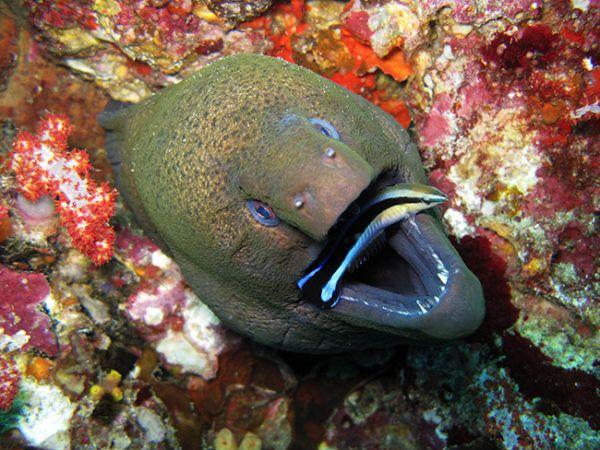Moreia-gigante abre a boca e oferece seus dents à limpeza do peixe-limpador.