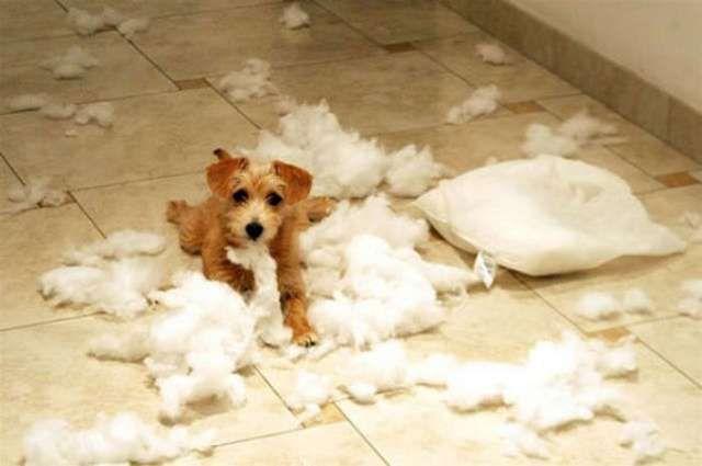 Saiba o que fazer para deixar seu cachorro sozinho em casa ou no apartamento enquanto você está trabalhando.