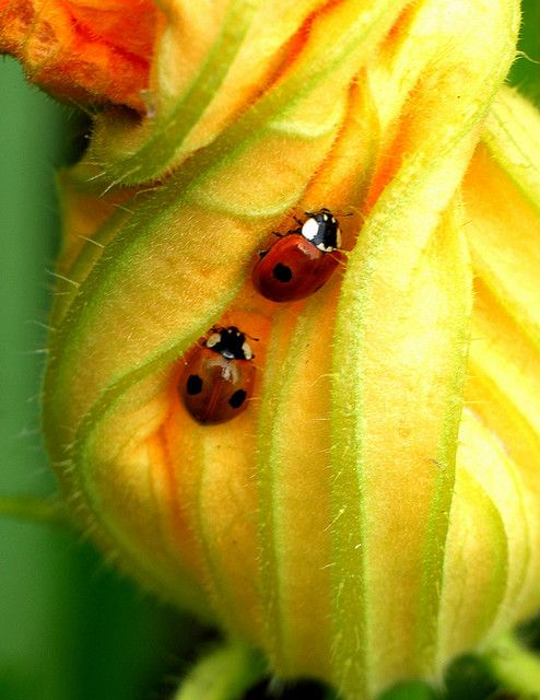 how to get rid of squash bugs with chemicals