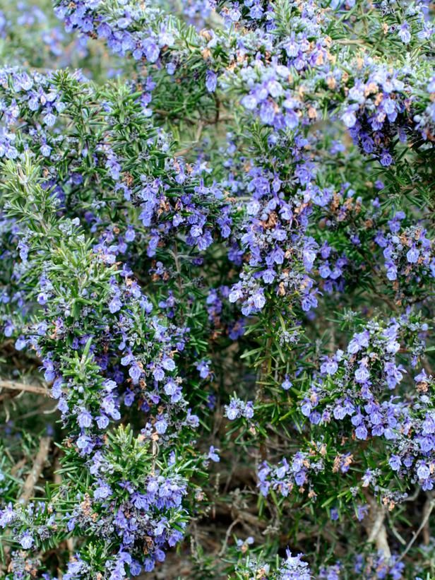 Severn sea rosmarinus officinalis a popular culinary and for Hardy flowering trees