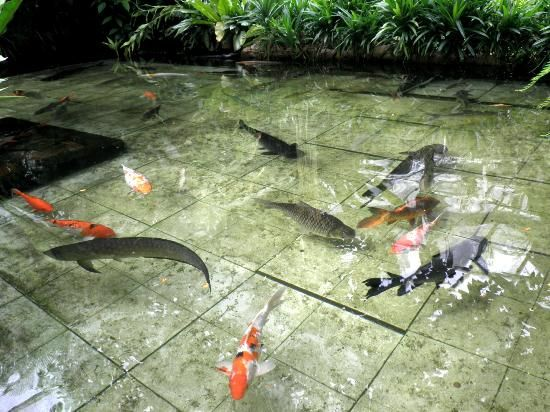 Arrowana fish in ponds penang butterfly farm photo fish for Freshwater koi fish