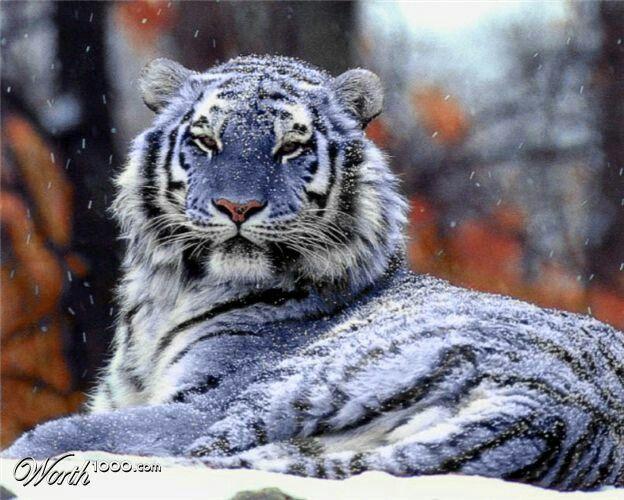 Blue/Maltese tiger...unbelievable!