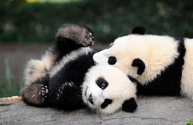 Google Image Result for http://i.telegraph.co.uk/multimedia/archive/01703/panda-playing_1703682i.jpg