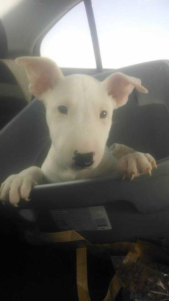 Miniature Bull Terrier - For Sale Ads