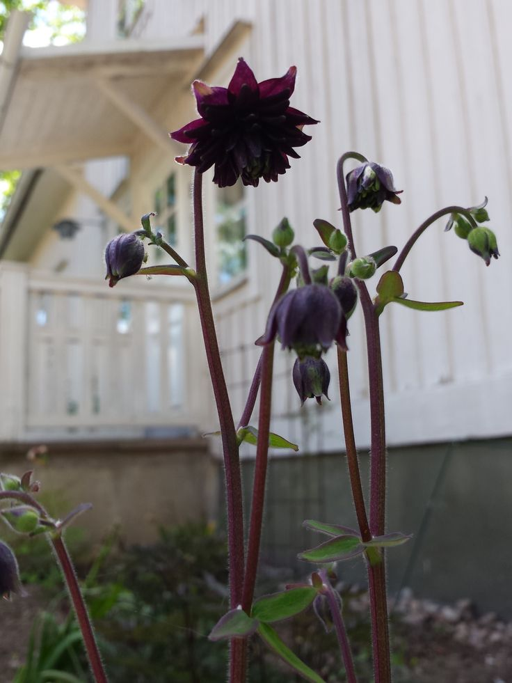 "Love my black flowers.... they bring a calm and mystical air to the garden - the waterelement.  Aquilegia ""Black Barlow"".  150602"