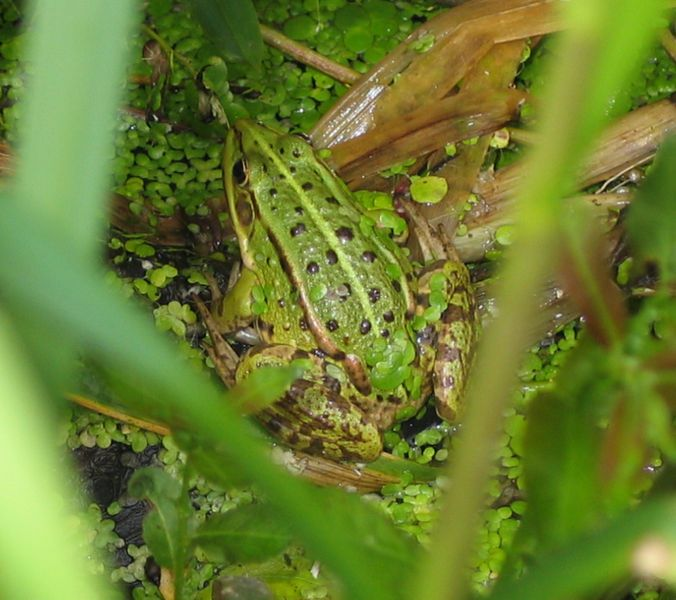 Pool Frog Rana lessonae