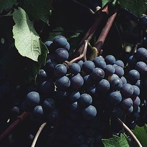 How to grow grapes organically:The secret to growing grapes without a lot of fuss or toxic treatments!