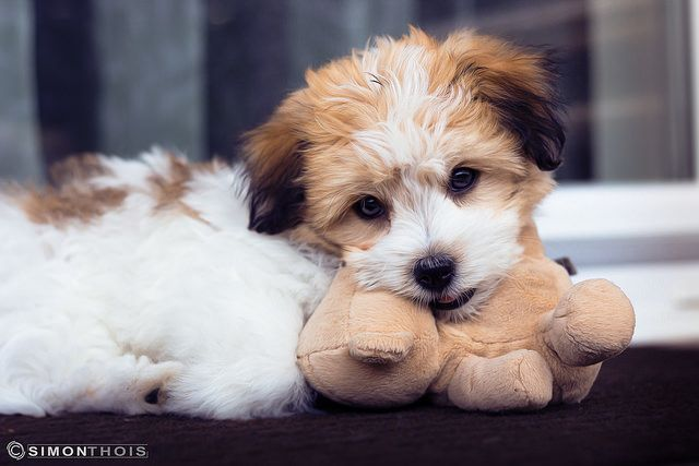 The 10 Most Cuddly Dog Breeds (photo credit: @SamtasticPhotography via Flickr)
