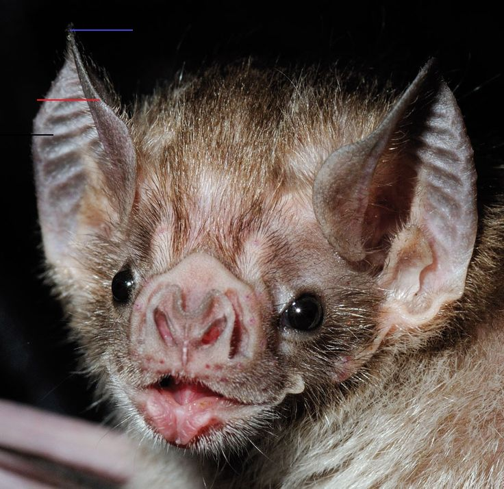 5 Amazing Animals That Start With The Letter V Bats Are The Only Animals That Can Fly But Vampire Bats Have An Even More Fascinating Difference The In 2020 Vleermuizen