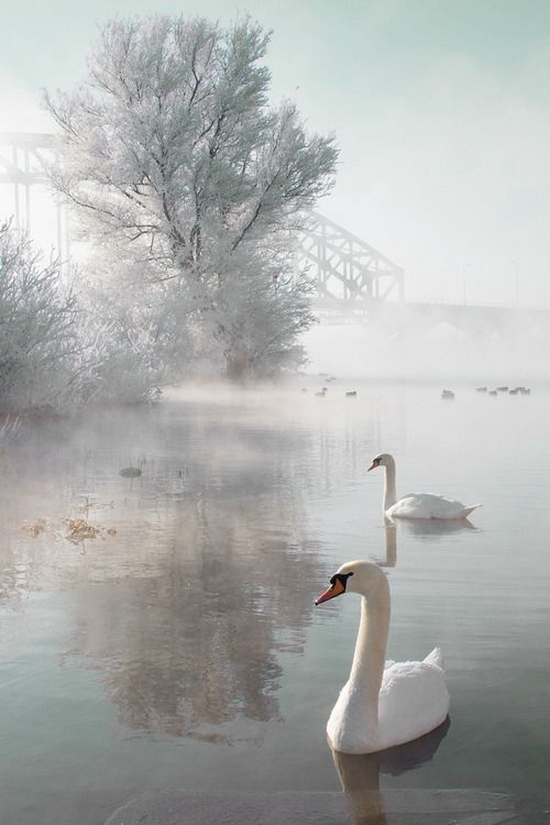Swans in morning mist.