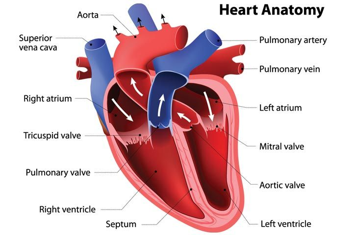 Heart & Circulatory System Diagram, Parts & Function, For ...