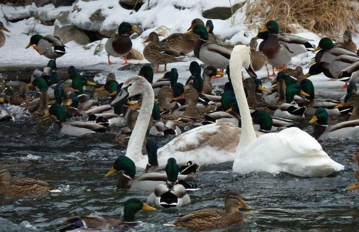Kačice a labute už neodmysliteľne patria k Humennému.
