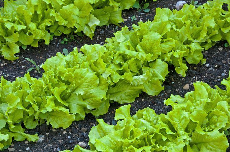 Как вырастить салат кочанный кадо
