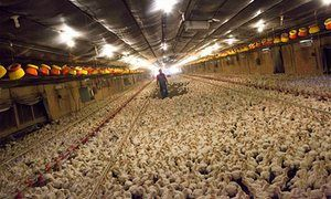 The majority of pigs and poultry are reared on intensive farms, according the campaign group Compassion in World Farming.