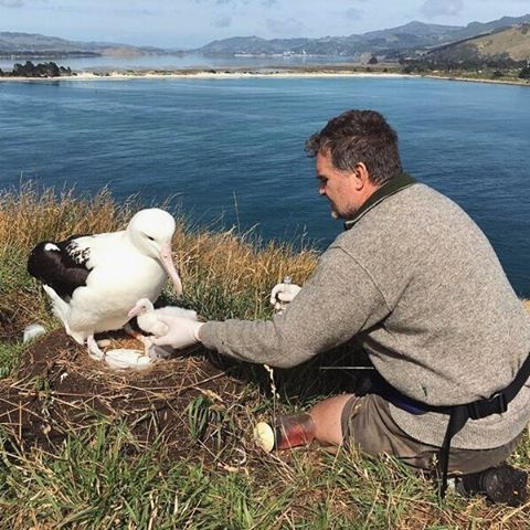 Our #royalcam albatross chick was found to be fly-blown. Following treatment the chick dropped below its hatch weight and was placed in to intensive care.   The chick has now put on weight and is being looked after in a foster nest. All going well it will be moved back to its own nest soon.