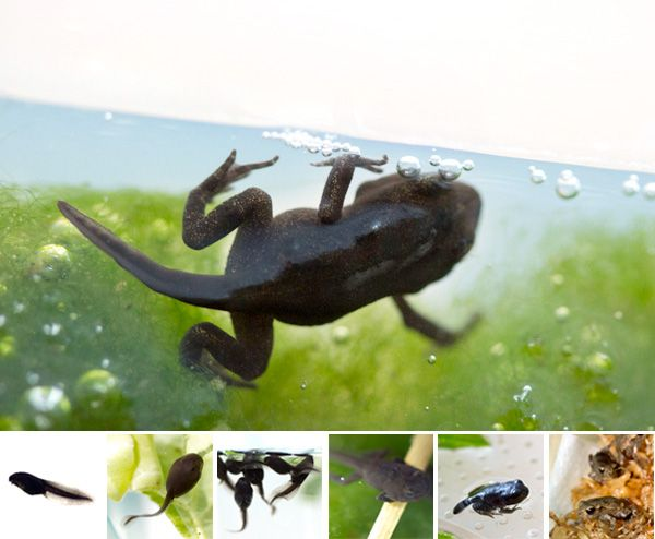 NOTCOT: From Tadpole to Toadlet
