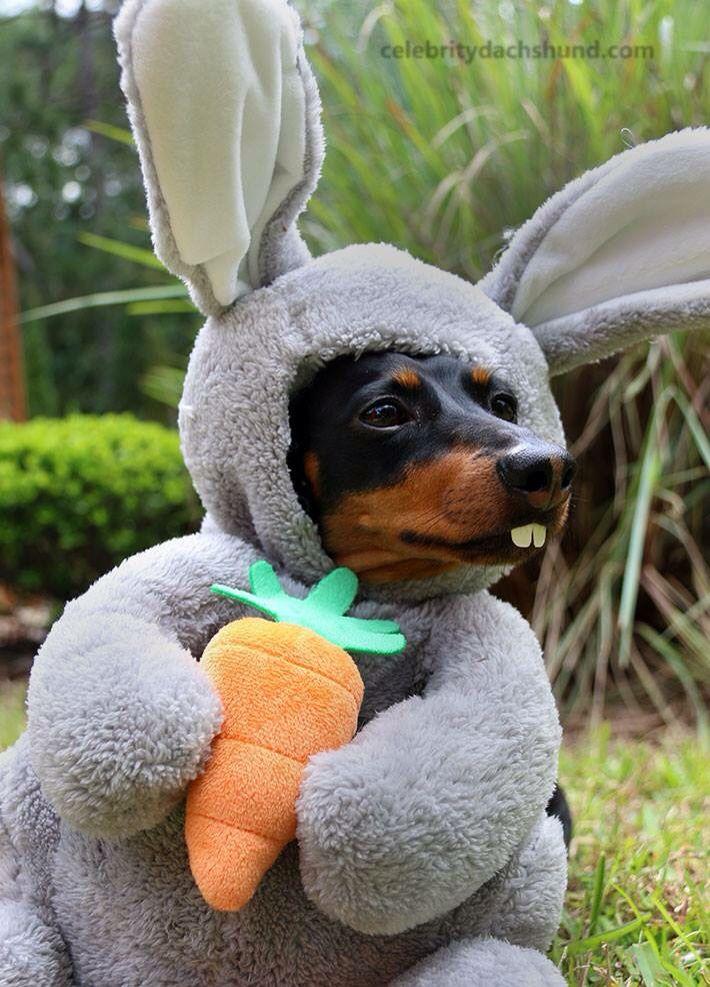 The 114 best Doggy coats images on Pinterest | Dachshund dog ...