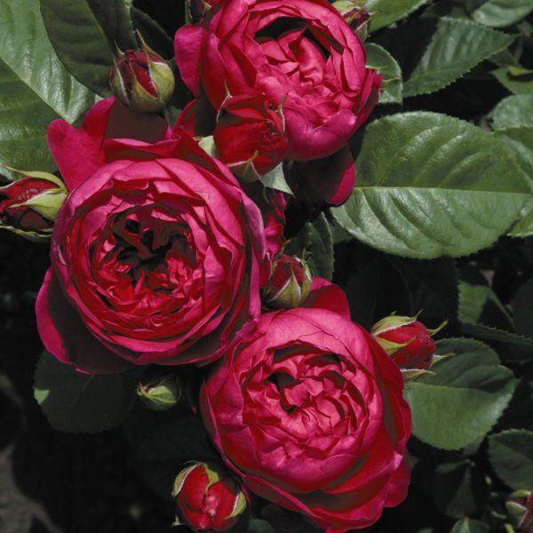 Anglická růže - Ascot