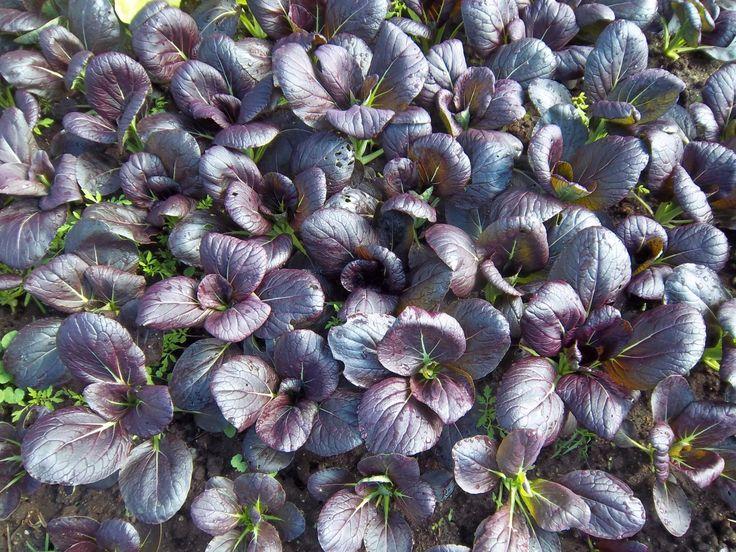 Purple , a.K.a Bak choy ,Pak choi Seeds - CHINESE CABBAGE -Purple Baby Pak Choi -Asian Vegetable
