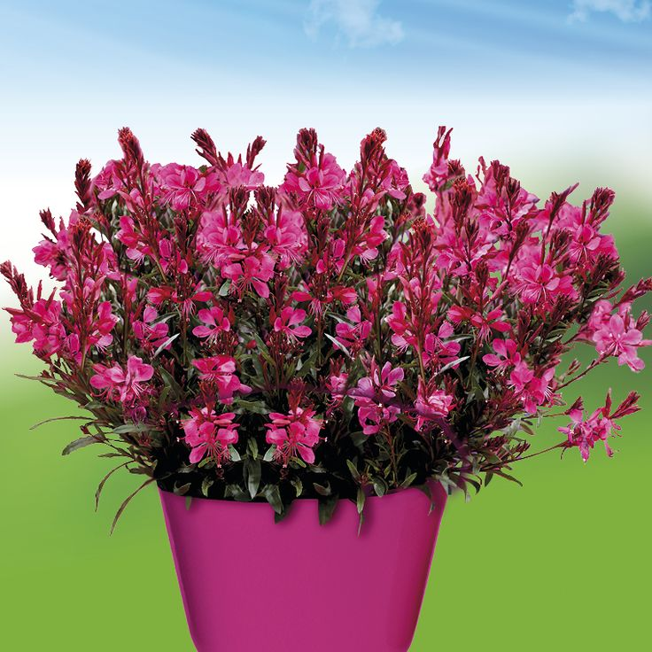 Gaura Gaudi Red | Gaura (Bee Blossoms) | Pinterest ...
