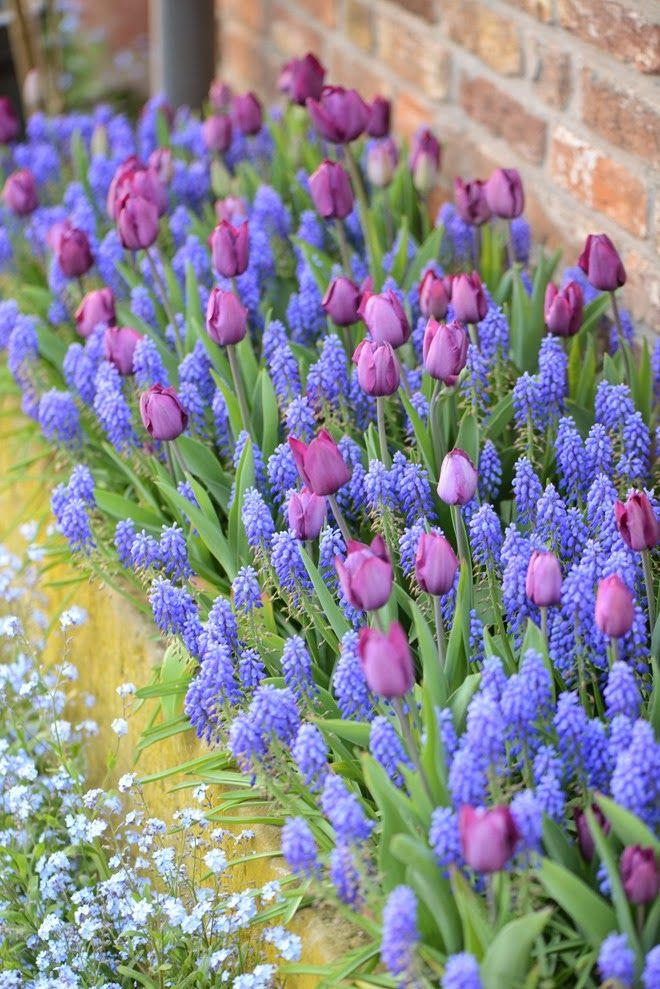 PURPLE TULIPS AMONG BLUE HYACINTHS What are the pale blue flowers in left corner?
