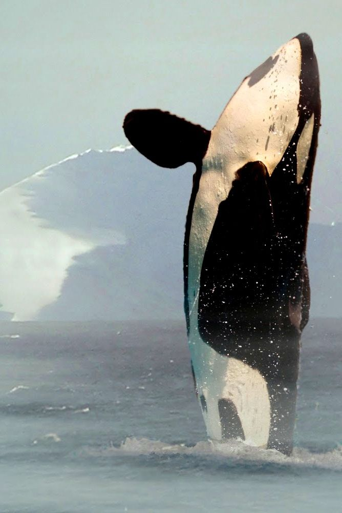 Orcinus Orca - Many scientists now believe that whales and dolphins, along with apes and elephants, should have special protected status because science has proven their intelligence is close to human intelligence.