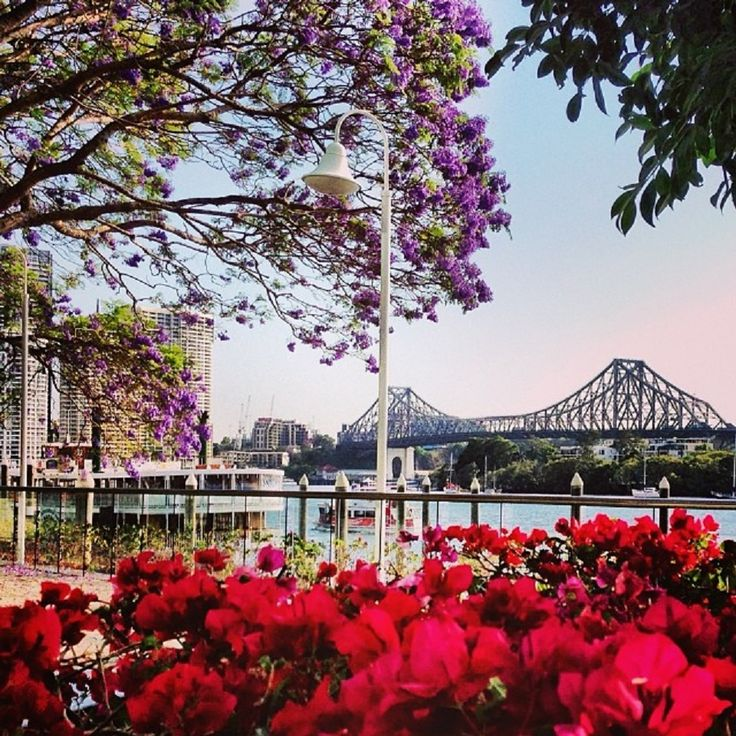 Brisbane is still central to the life of the family... Brisbane in bloom #jacarandas #storybridge #spring