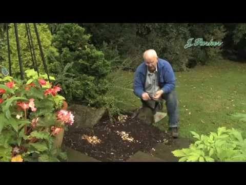 How to plant Dwarf Narcissi: Jeff Turner plants Miniature/Rockery Narcis...