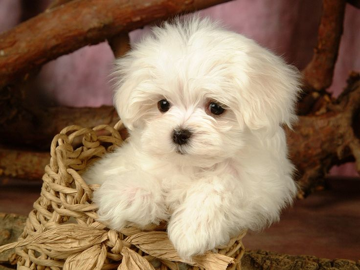 dogs | Fluffy Maltese Puppy Dogs - White Maltese Puppies wallpapers 1600*1200 ...