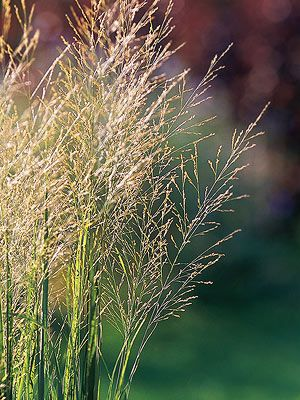 37 best images about panicum switchgrass on pinterest for Blue ornamental grass varieties