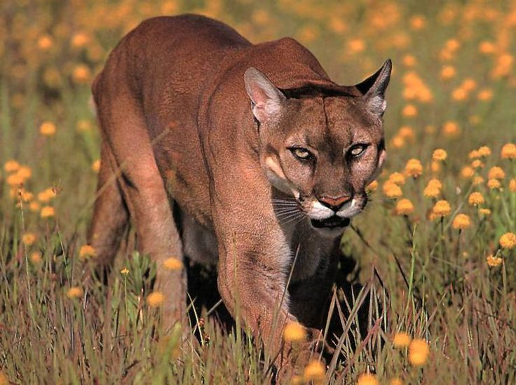 163 best Pumas images on Pinterest | Mountain lion, Wild animals and Animal  kingdom