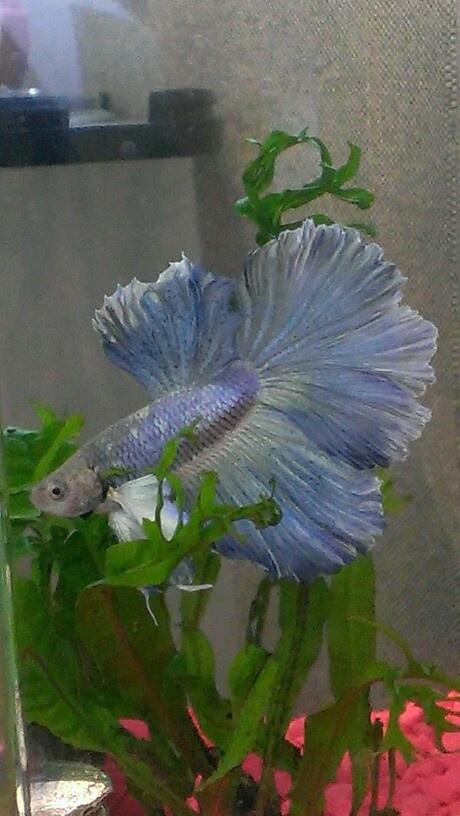 476 best images about betta luvin on pinterest betta for Elephant ear betta fish