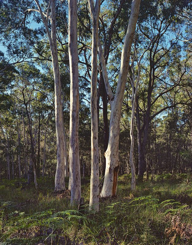 Stand of scribbly gums