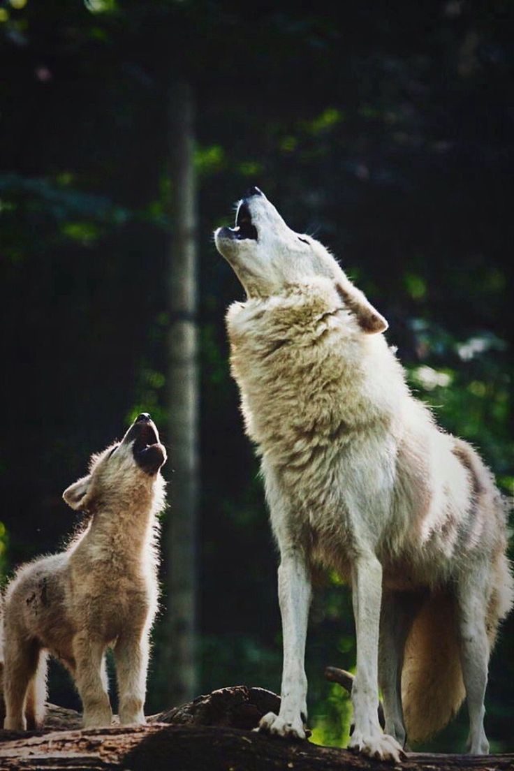 Baby Wolf learns to howl like Papa Wolf