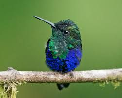 Image result for Green-Crowned Woodnymph
