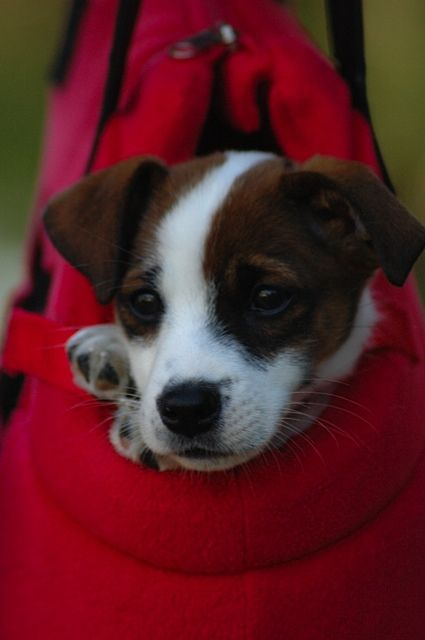 the cutest Jack Russell Terrier puppy EVER! my favorite breed