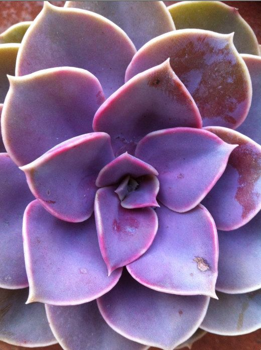 Succulent Plant Purple Echeveria Perle Von by SucculentOasis