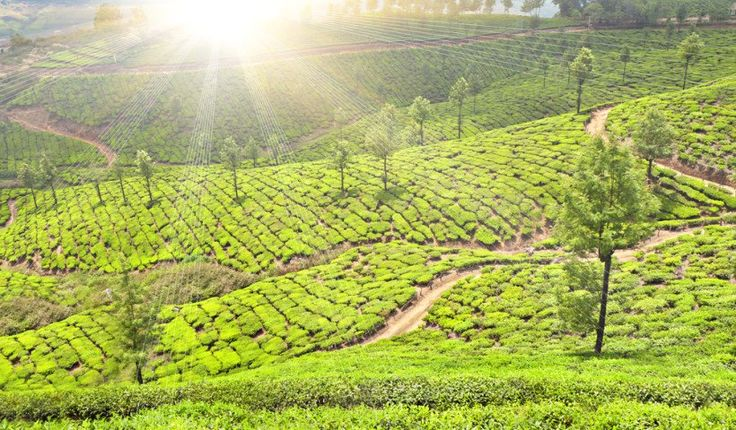 Sólo busque una foto de Munnar y comprenderá instantáneamente su atractivo: no hay un verde más brillante y más hermoso que el color de las plantaciones de té de Munnar. Munnar es la estación de la colina más fina de Kerala, y el mayor ejemplo de la importancia del té para el sustento de la gente y la economía de la India en general. Munnar está en la ensambladura de las corrientes de la montaña de Kundala, de Mudrapuzha, y de Nallathanni se encaramó más de 5.000 pies sobre nivel del mar.
