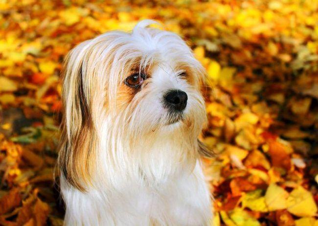 Свое хорошее отношение к гостям пес демонстрирует сдержанно, просто присутствуя в вашей компании. А если хозяин даст понять, что гости – его друзья, они автоматически становятся друзьями апсо