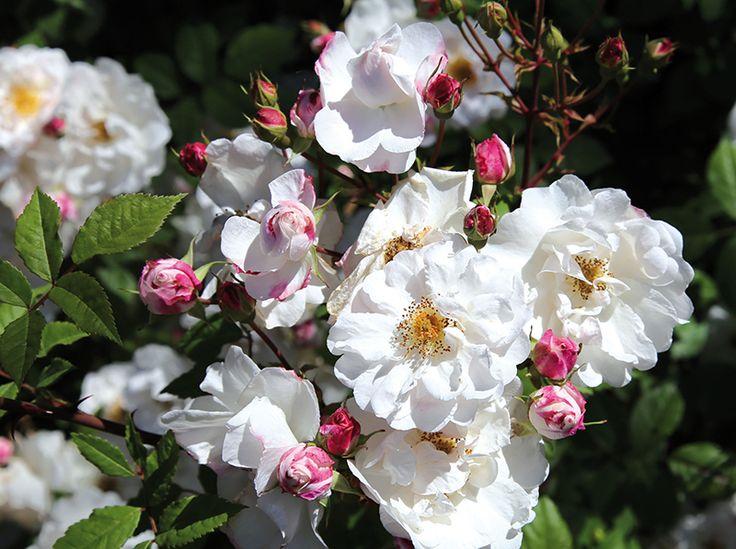 Ramblerrose 'Paul´s Himalayan Musk' ®  Stark wachsende Ramblerrose. Kleine, rosettenförmig gefüllte Blüten mit Duft. Einmalblühend über mehrere Wochen. Geeignet zum Klettern an Bäumen.  - gefunden auf: www.tom-garten.de