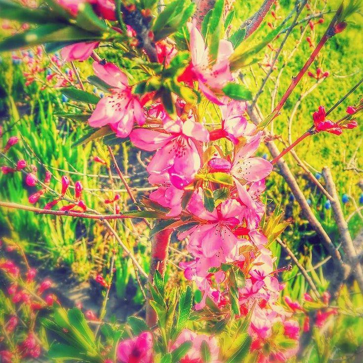 На улице цветет миндаль) краски радуют глаз  #ручнаясова #handowl #цветы #краски #красивые #новосибирск #нск #радость #весна #flowers #novosibirsk #spring #springflowers #nature #pink #розовые #beauty #beautiful #красота #нежность by handowl.ru