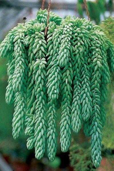 Plante retombante s dum plante grasse exterieur for Belle plante exterieur